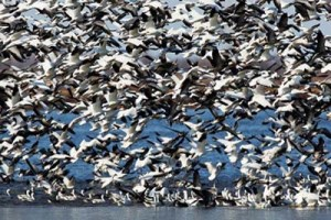 A million geese and ducks migrate south along the Missouri River in the fall. We journeyed down the river at the same time, often seeing huge flocks like this one. Photo by the Omaha World Herald.